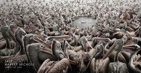 hn-sale-pelicans